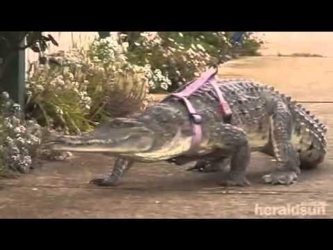 شاهد فيديو امرأه تربي تمساح كحيوان أليف بدل القطة