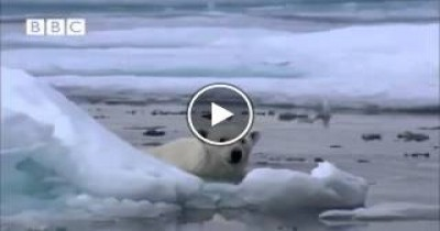 فيديو رائع لدب قطبي يصطاد فريستة