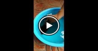 فيديو سمكة بتنفخ نفسها.. سبحان الله