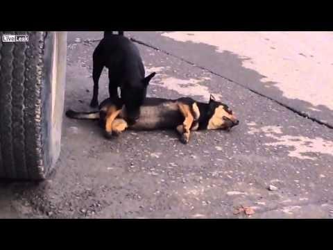 شاهد بالفيديو كلب وفي لا يريد ترك صديقه بعد موته