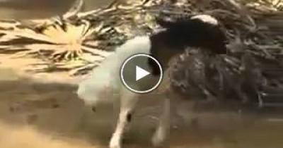بالفيديو خروف بقدمين فقط ويعيش حياه طبيعية
