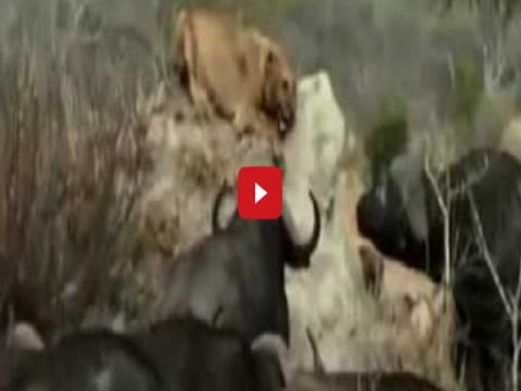 بالفيديو .. ملك الغابة فى ورطة، جواميس تنقض على أسد وتنهى حياته