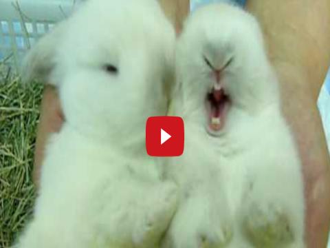 اجمل فيديو ممكن تشوفه لأرانب صغيره