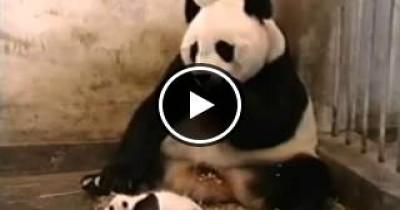بالفيديو باندا صغيرة تقوم بعمل مقلب فى امها