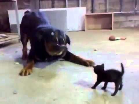 شاهد أشجع قطه ممكن تشوفها فى حياتك