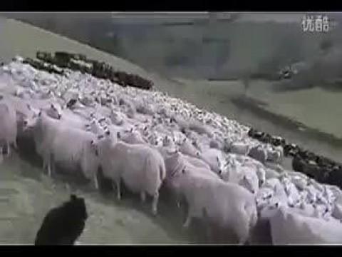 فيديو رائع.. لعبه الخرفان